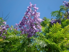 Closeup of a cluster of Jacaranda flowers on a tree in bloom