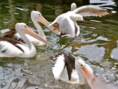 With open beak, awaiting food