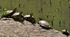 Turtles basking in the sun, Central Park