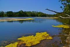 Lake Tabourie with an amazing display of yellow algae, near Ulladulla