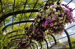 Arcade of hanging baskets of petunias