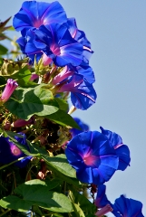 Morning Glories in Narooma