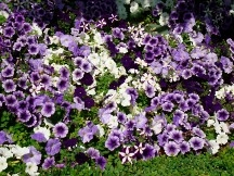 Petunia plantings 2009