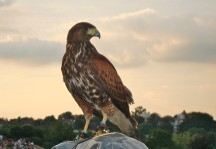 Rufus, Wimbledon's beautiful hawk, got away and flew around the roof of the Broadcast Center!